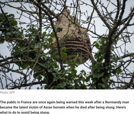 killer hornet nest