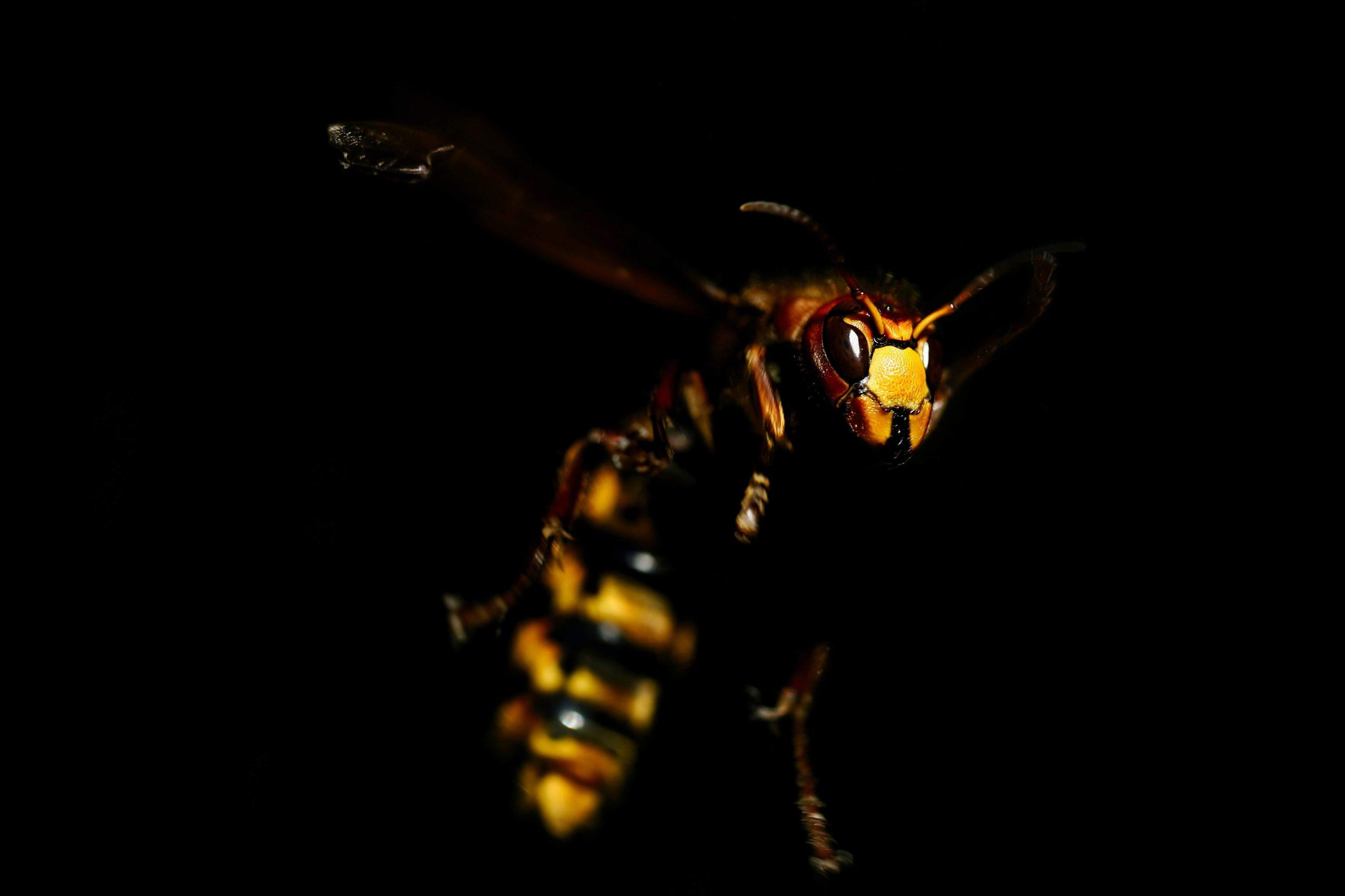 close up photo of murder hornet