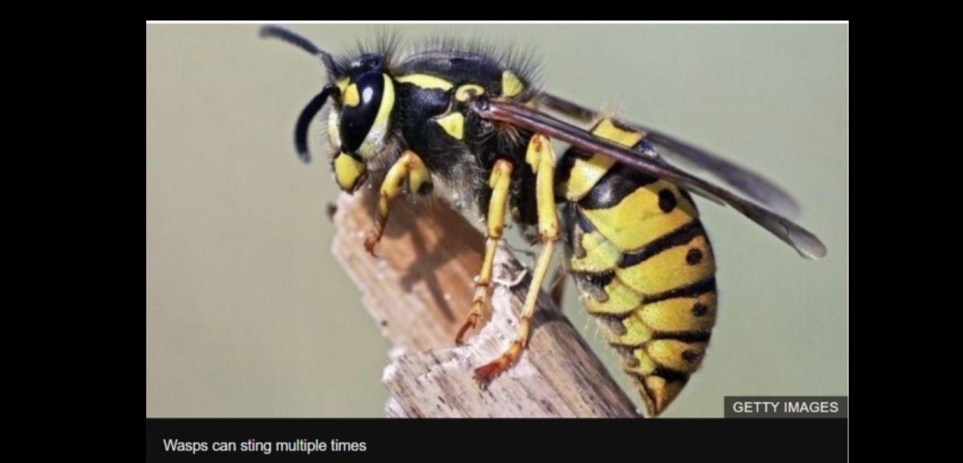 killer hornet stings closeup